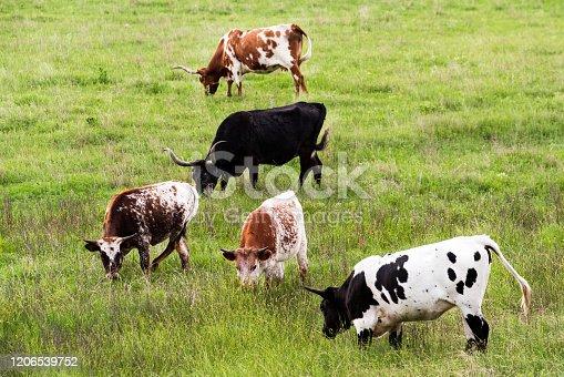 585090418 istock photo Texas Longhorn Cattle 1206539752