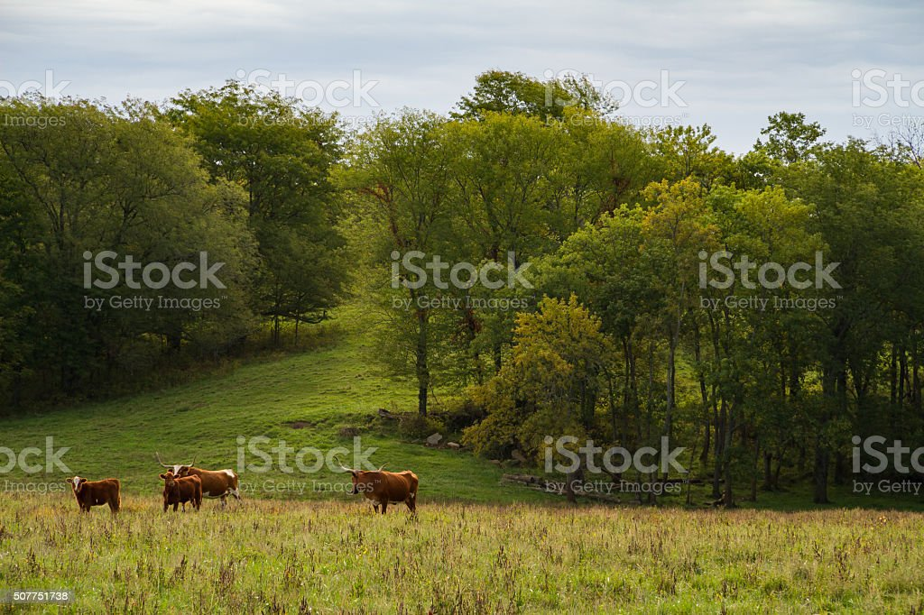 Texas Longhorn Cattle Texas Longhorn Cattle herd on a farm in the Midwest. Agricultural Field Stock Photo