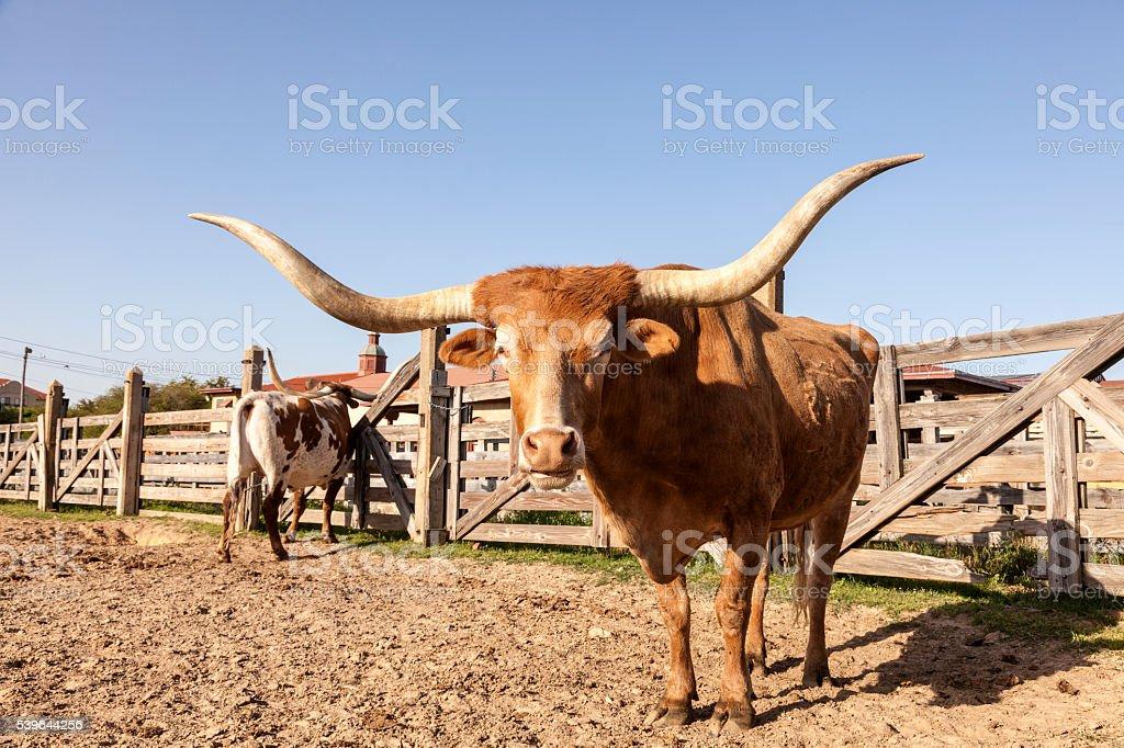 Texas Longhorn Cattle stock photo