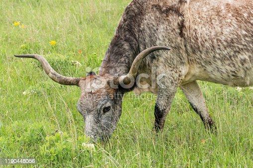 585090418istockphoto Texas Longhorn Cow 1190448056