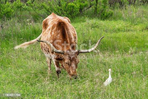 585090418istockphoto Texas Longhorn Cow 1190451294