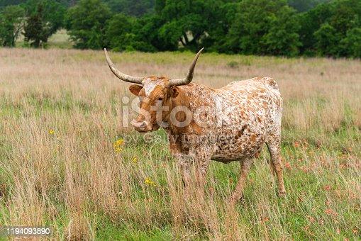 585090418 istock photo Texas Longhorn Cow 1194093890