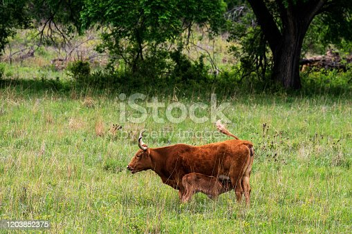 585090418 istock photo Texas Longhorn Cow 1203852375