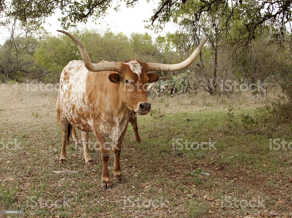 Texas Longhorn Cow royalty-free stock photo