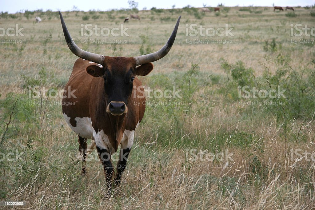 Texas Longhorn dairy cow stock photo