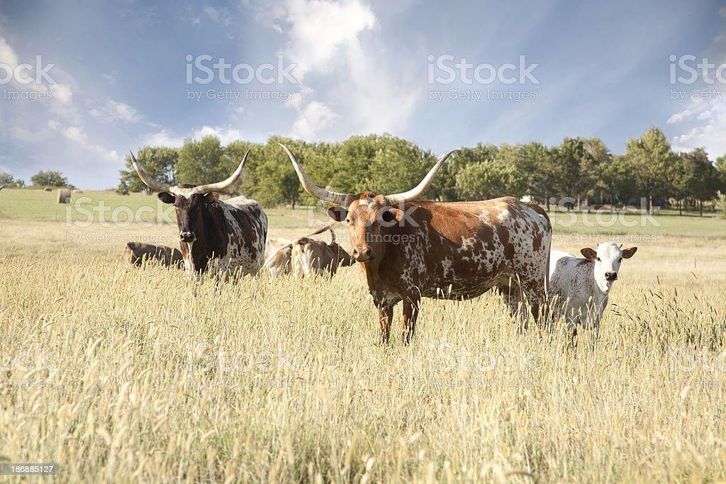 Texas Longhorn Herd In Field stock photo