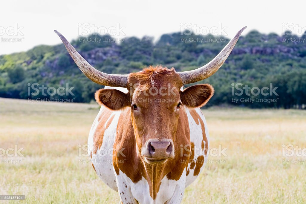 Texas Longhorn in a Field stock photo