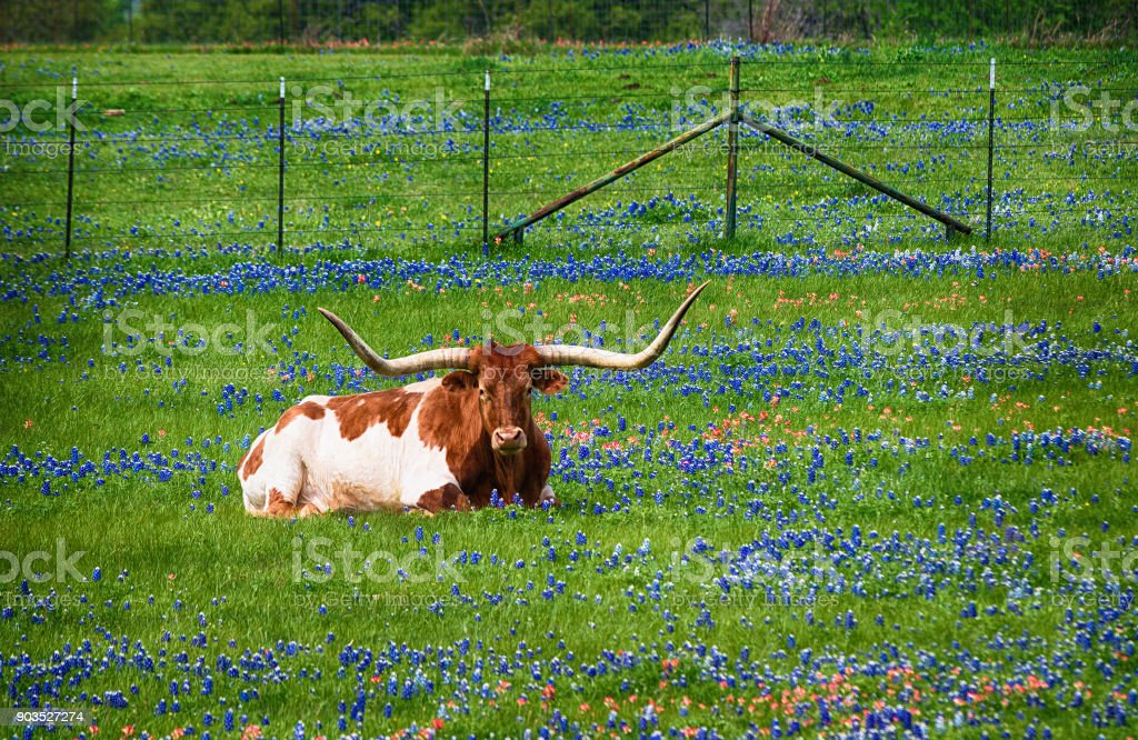 Texas longhorn in bluebonnet pasture stock photo