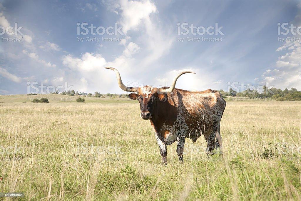 Texas Longhorn In Field stock photo