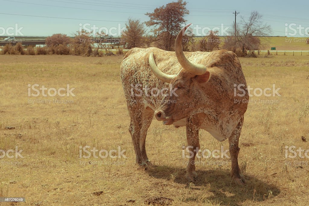 Texas longhorn in profile royalty-free stock photo