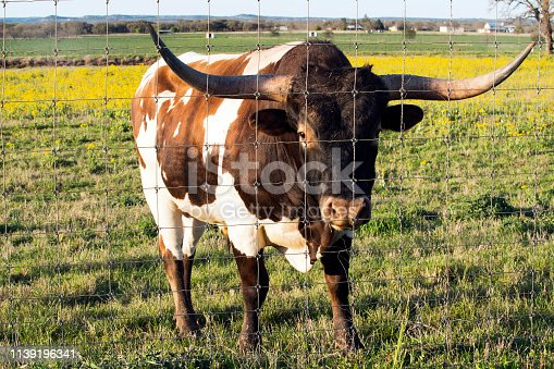 585090418istockphoto Texas Longhorn in the Hill Country near Marble Falls 1139196341