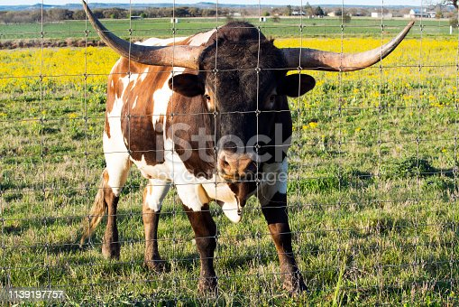 585090418istockphoto Texas Longhorn in the Hill Country near Marble Falls 1139197757