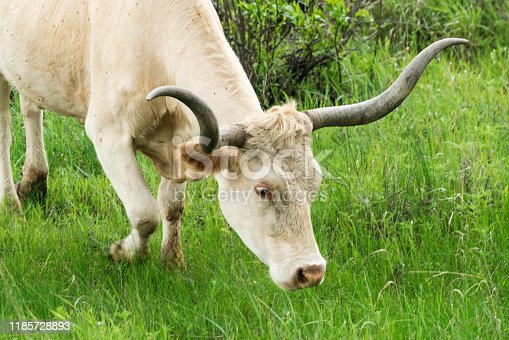 585090418istockphoto Texas Longhorn in the Hill Country near Marble Falls 1185728893