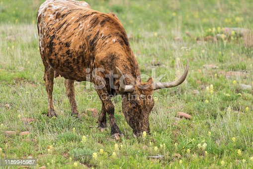 585090418 istock photo Texas Longhorn in the Hill Country near Marble Falls 1189945987
