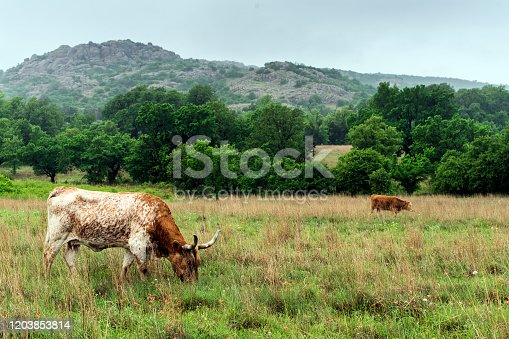 585090418 istock photo Texas Longhorn in the Hill Country near Marble Falls, Texas 1203853814
