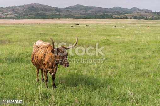 585090418 istock photo Texas Longhorn 1189962937