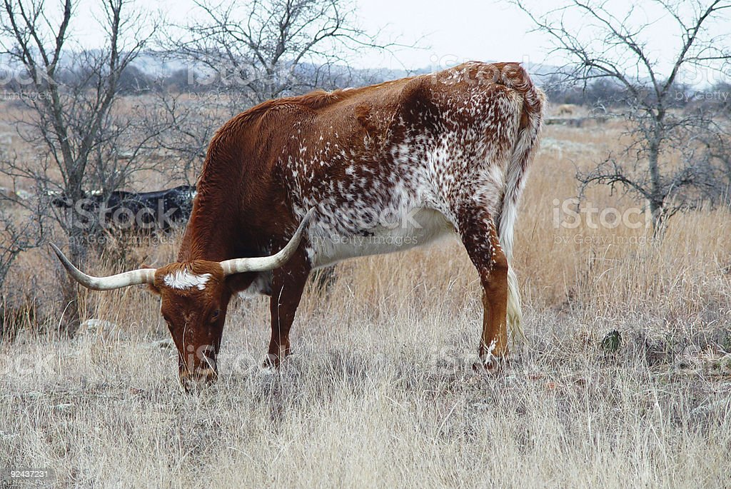 Texas Longhorn royalty-free stock photo