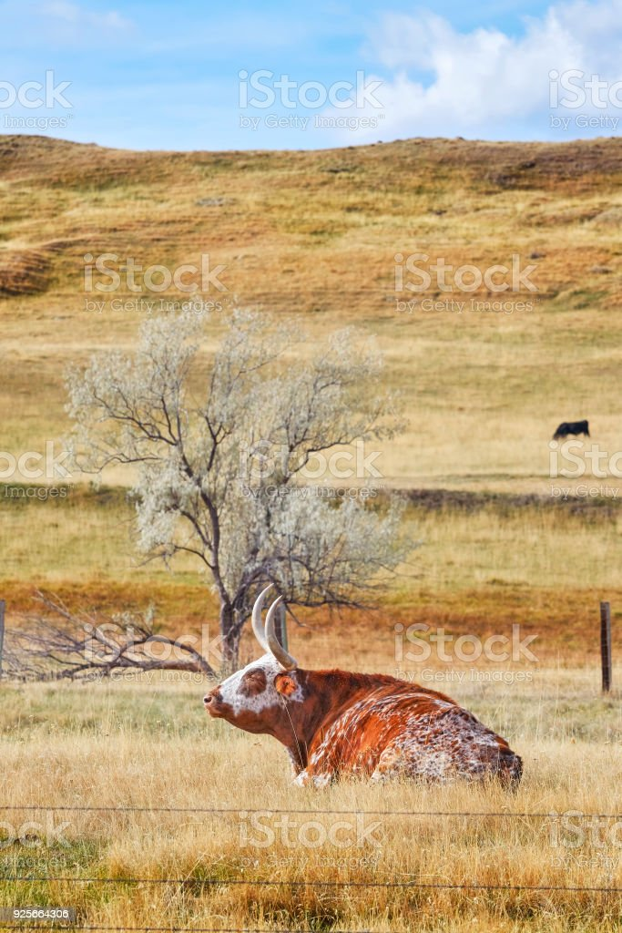 Texas Longhorn rests on a dry autumn meadow. stock photo
