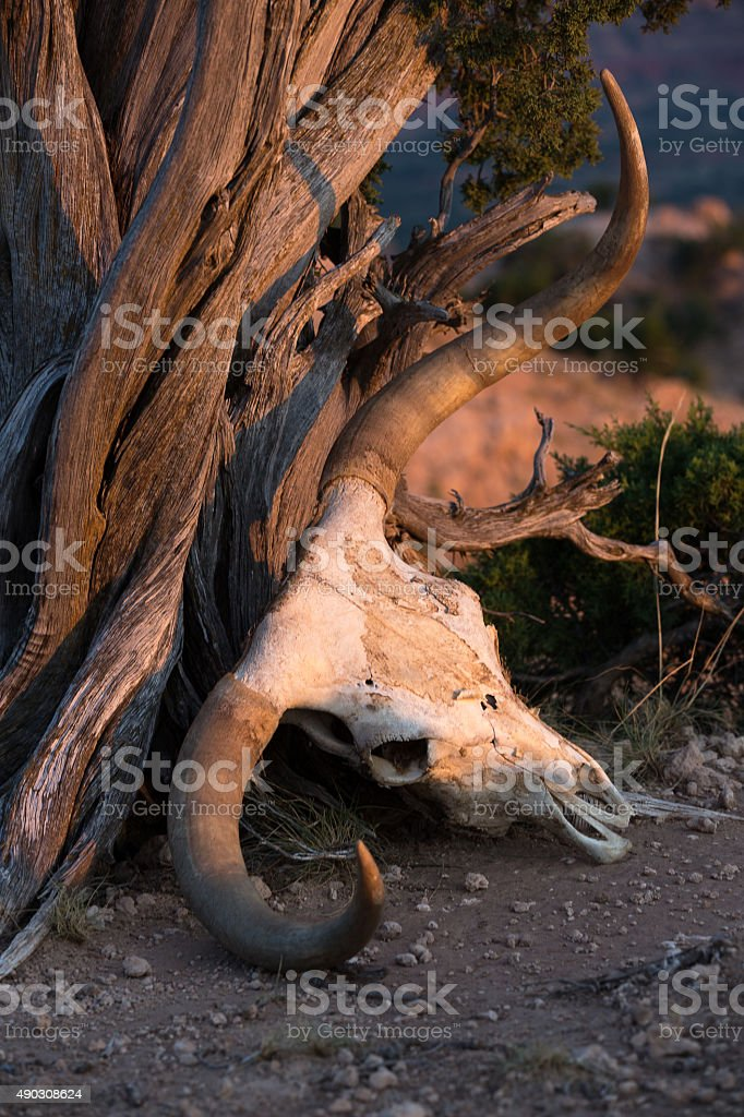 Texas Longhorn skull in Palo Duro canyon stock photo