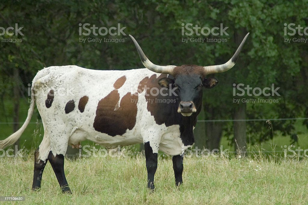 Texas Longhorn Steer royalty-free stock photo