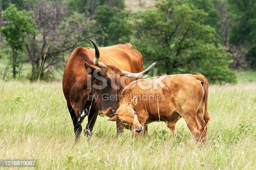 585090418 istock photo Texas Longhorn Wichita Mountains Wildlife Refuge 1216879067