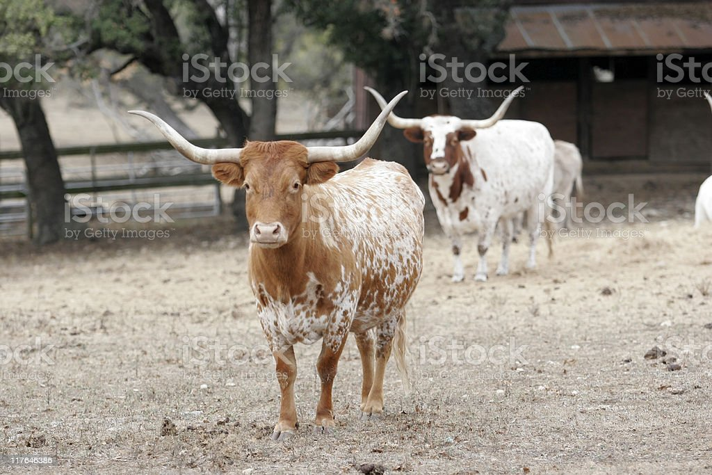 Texas Longhorns royalty-free stock photo