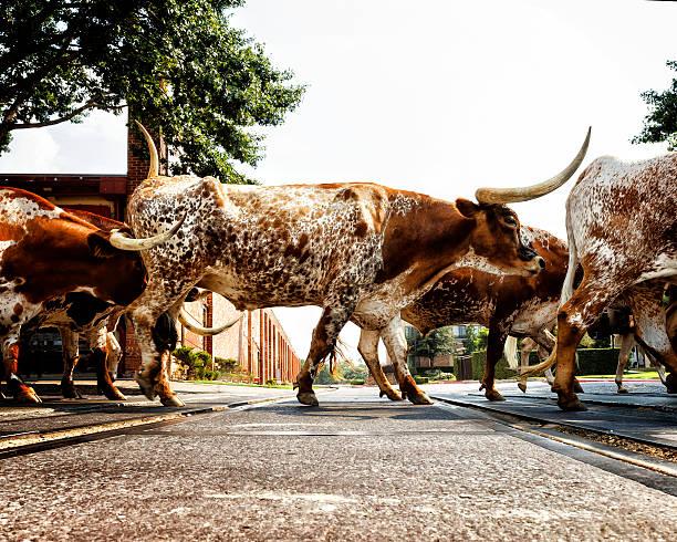 Texas Longhorns stock photo
