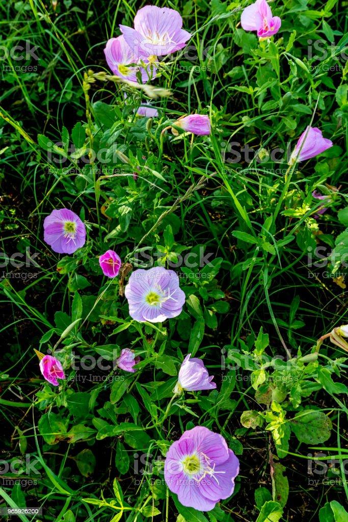 Texas Pink Evening or Showy Evening Primrose Wildflowers. (Oenothera speciosa) - Royalty-free Afiado Foto de stock