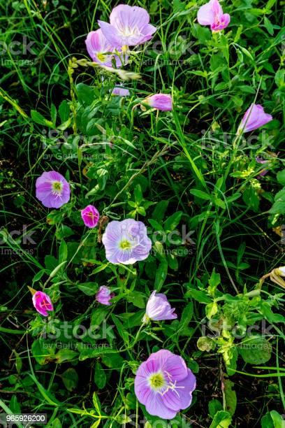 Texas Pink Evening Or Showy Evening Primrose Wildflowers - Fotografias de stock e mais imagens de Afiado