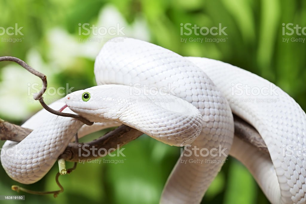 Texas Rat Snake Creeping On Branch Stock Photo Download Image Now Istock