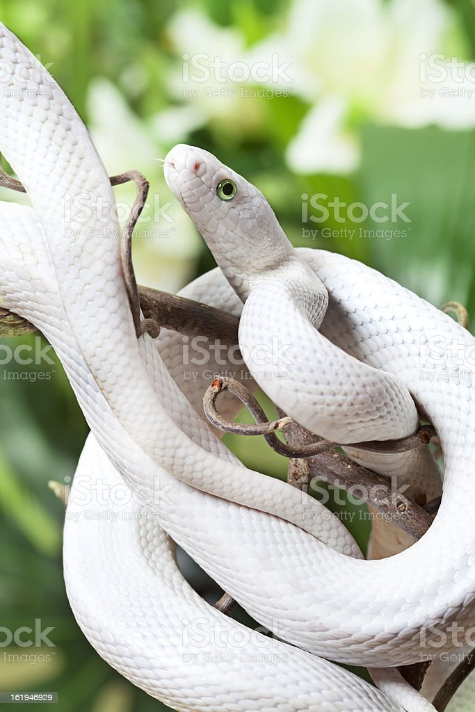 Texas rat snake royalty-free stock photo