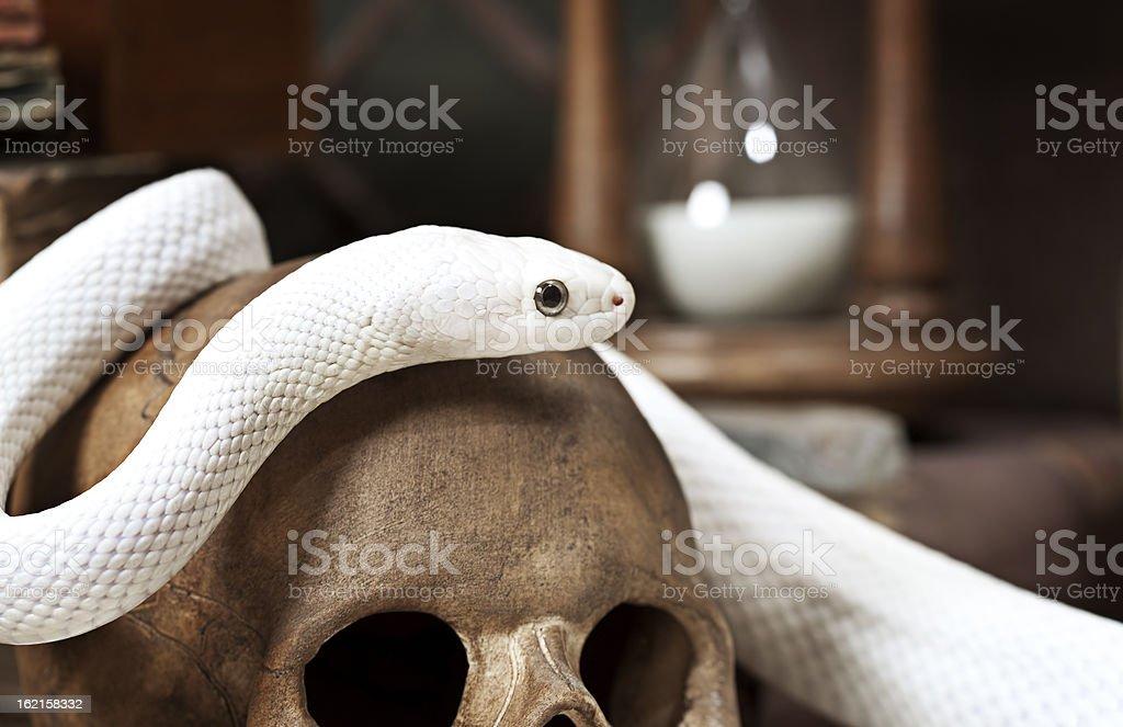 Texas Rat Snake Stock Photo Download Image Now Istock
