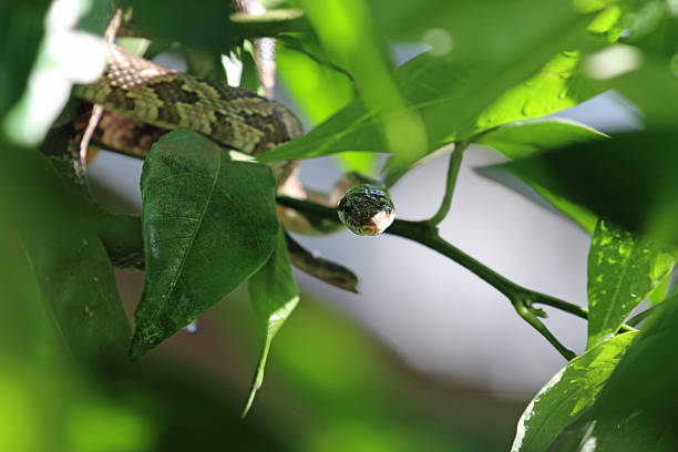 Texas Rat Snake Stock Photos, Pictures & Royalty-Free Images