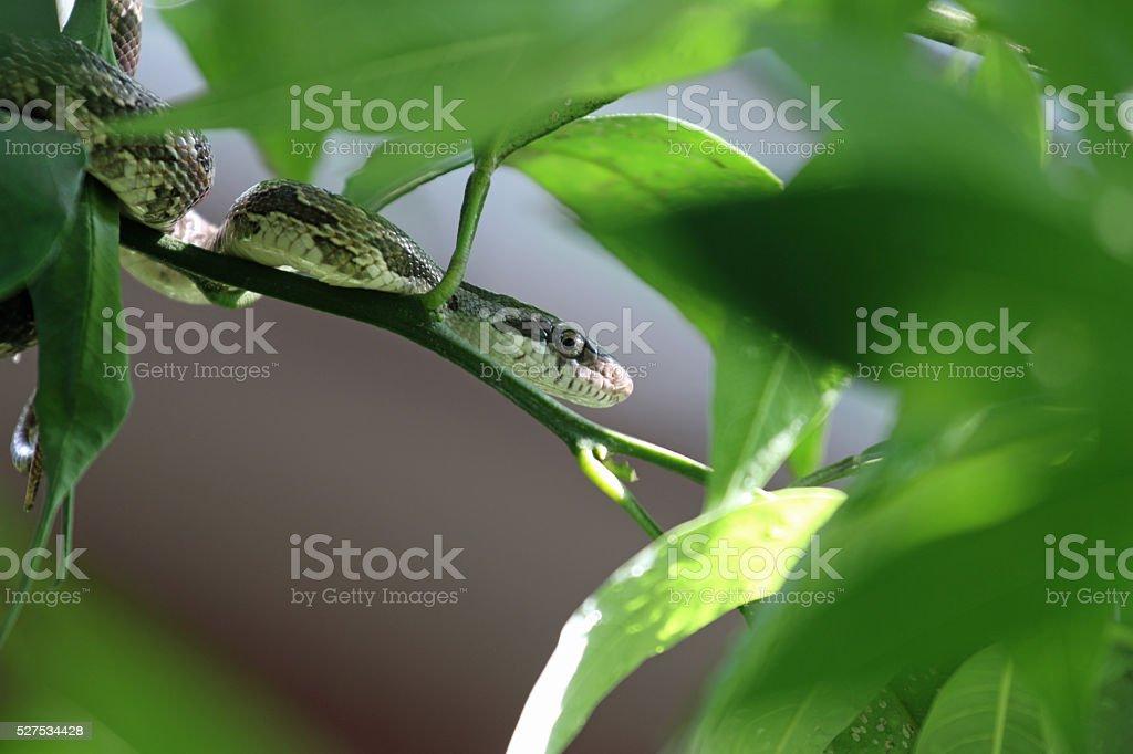 Texas Rat Snake stock photo