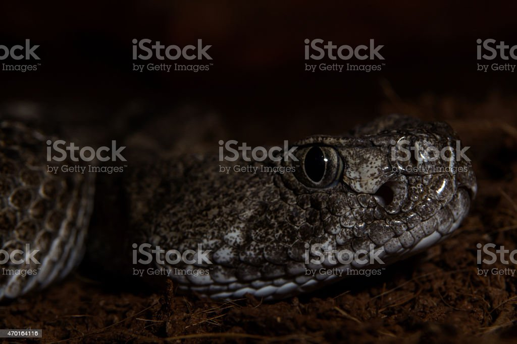 Texas rattle snake  close up ready to strike from darkness stock photo