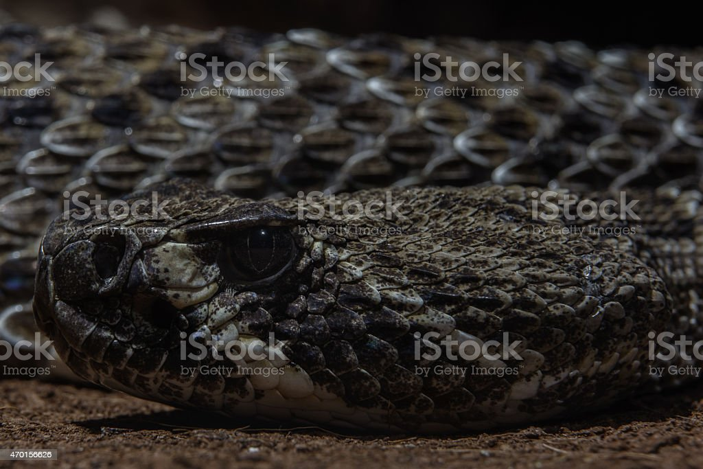 Texas rattle snake cotalus Atrox close up head and scales stock photo