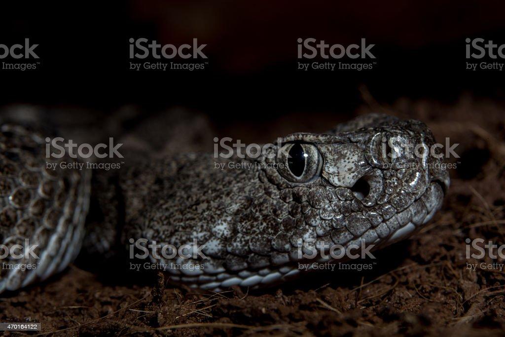 Texas rattle snake cotalus Atrox close up night ambush stock photo