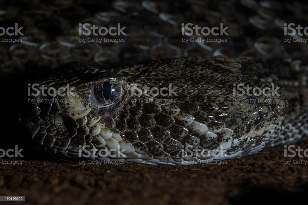 Texas rattle snake cotalus Atrox close up stock photo