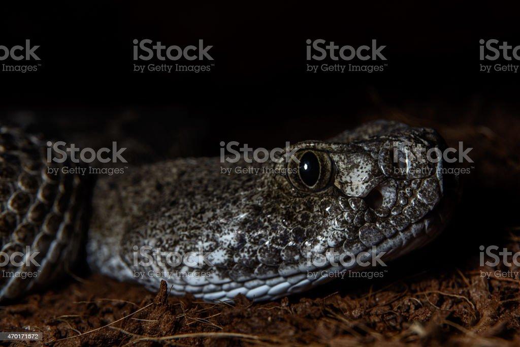 Texas rattle snake cotalus Atrox lying in ambush at night stock photo