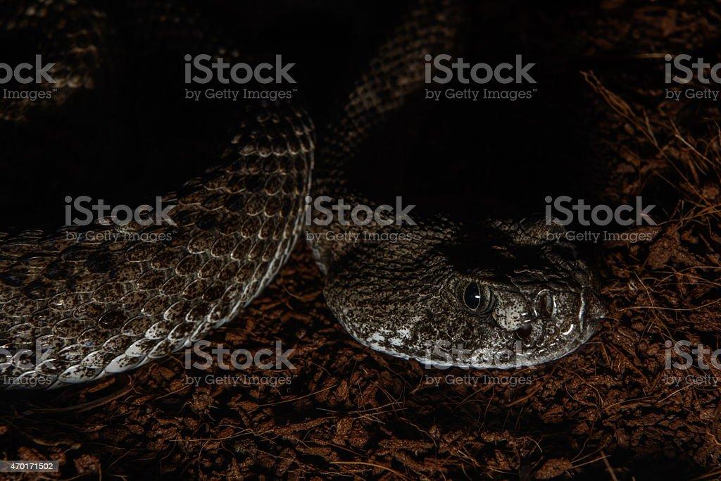 Texas rattle snake cotalus Atrox lying in ambush stock photo