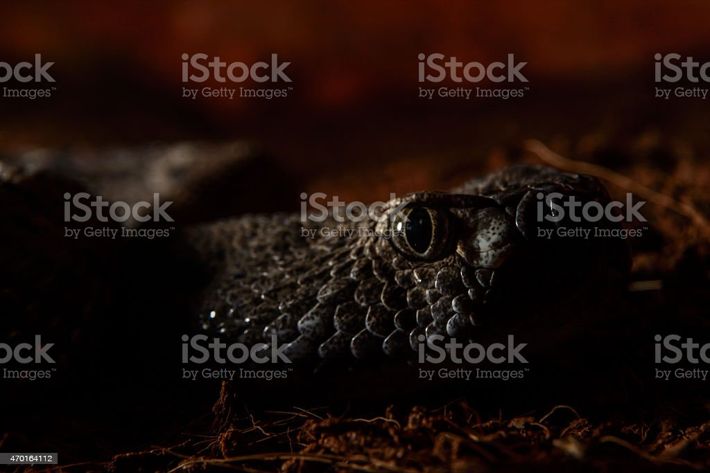 Texas rattle snake cotalus Atrox stalking in darkness stock photo