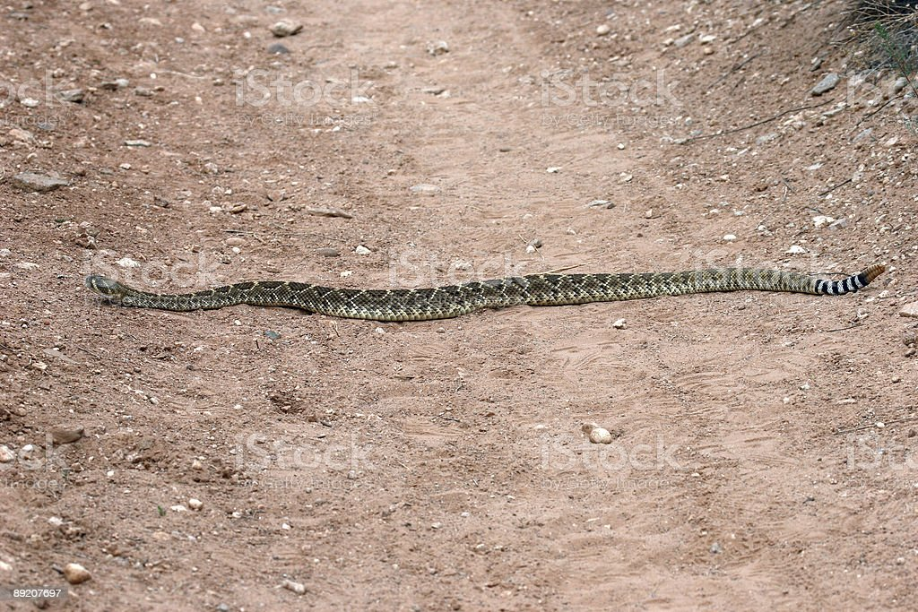 Texas Rattlesnake stock photo