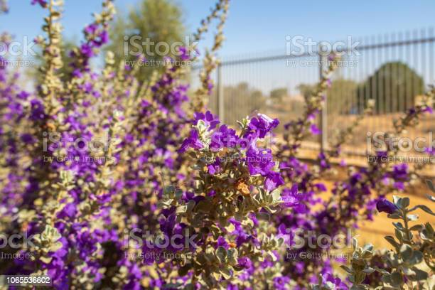 Texas sage bush front of metal fence