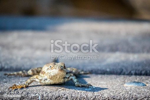 A portrait shot of a horned toad walking along the road of the park in Harlingen