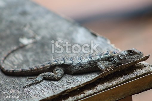 A close up of Texas spiny lizard on a patio table in a Texas backyard