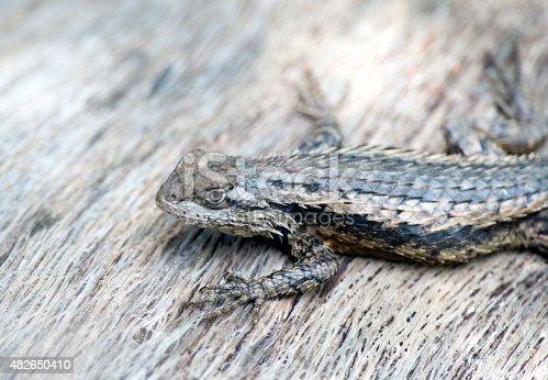 Texas Spiny Lizard is an agile climber