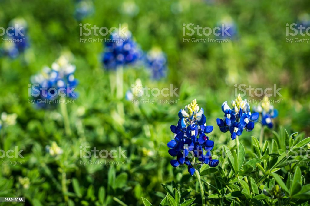 Texas State Flower The Bluebonnet Stock Photo Download Image Now