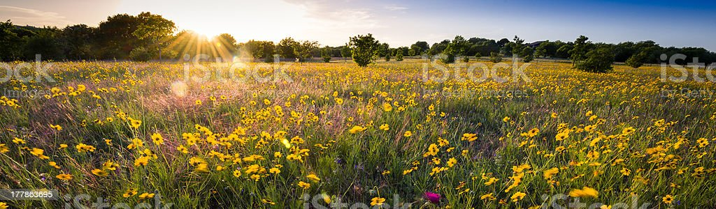 Texas Sunflower Panorama stock photo