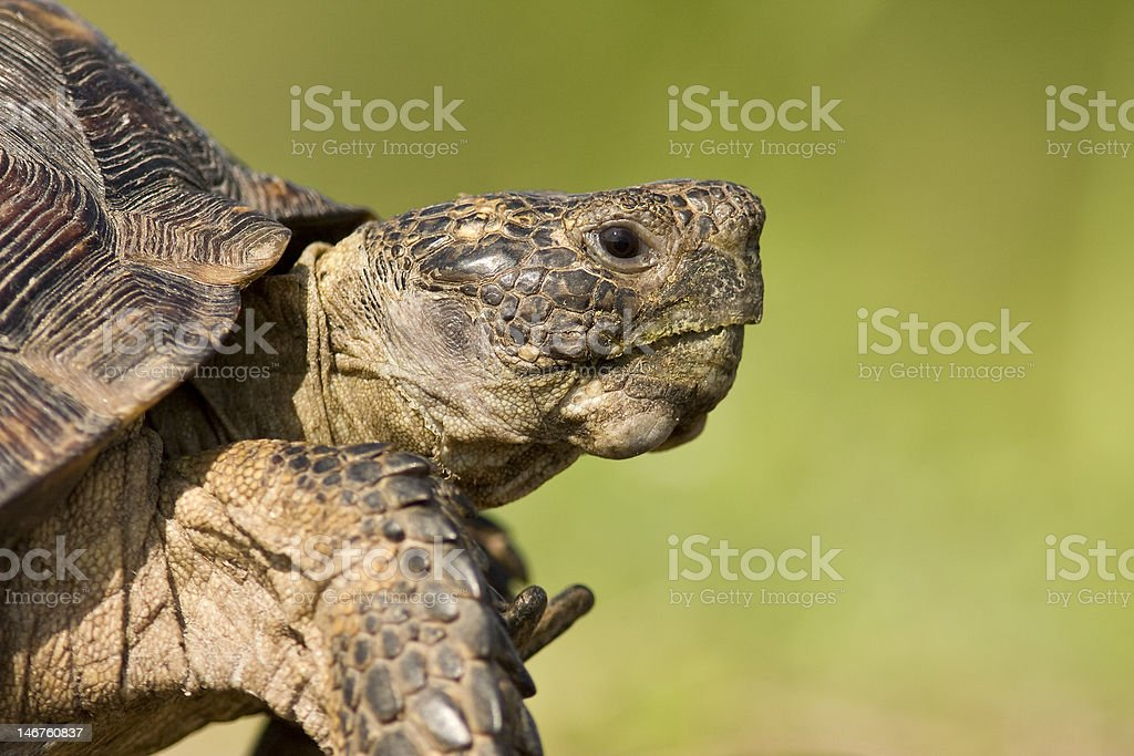 Texas Tortoise royalty-free stock photo