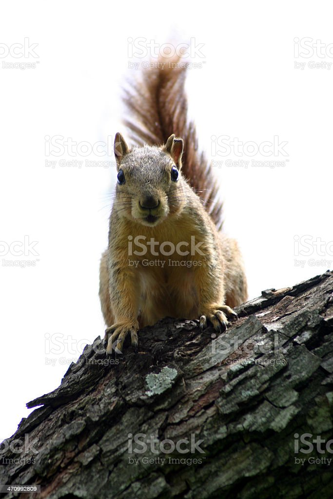 Texas Tree Rat (squirrel) royalty-free stock photo